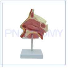 PNT-0436 high quality science models NASAL CAVITY for medical use