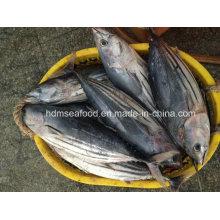 Big Size Skipjack Thunfisch