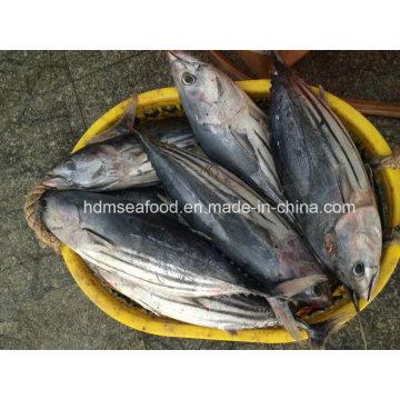 Big Size Skipjack Tuna