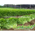 Suntoday vegetable F1 Organic bulk chinese vegetable black oil buying organial health benefits celery seed extract seeds(34001)
