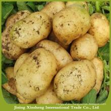 Fresh export potato varieties
