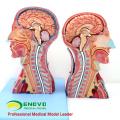 MUSCLE07 (12030) Cabeça e Pescoço com Vasos, Nervos e Cérebro (Modelo Médico, Modelo Anatômico) 12030