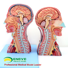 MUSCLE07 (12030) Kopf und Hals mit Gefäßen, Nerven und Gehirn (medizinisches Modell, anatomisches Modell) 12030