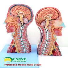 MUSCLE07 (12030) Cabeza y cuello con vasos, nervios y cerebro (modelo médico, modelo anatómico) 12030
