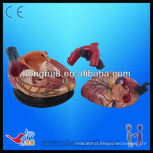 Alta qualidade anatomia humana modelo de coração médico para venda modelo novo 4 vezes modelo de coração ampliado