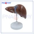 ПНТ-0469 медицинская модель подарок анатомические печени