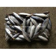 (14-18PCS / kg) Nueva caballa japonesa del gato de los pescados para la venta