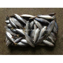 (14-18PCS/kg) New Fish Japanese Jack Mackerel for Sale
