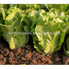 Sementes de alface verde resistente ao calor LT04 Caiquan para venda