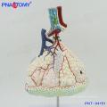 PNT-04151 human body model Magnified Pulmonary Alveoli Model