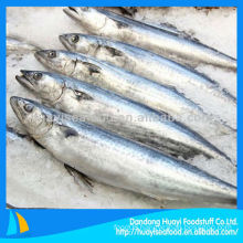 BQF Japanese Spanish mackerel