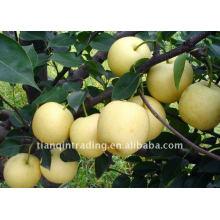 frische goldene Birne