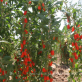 rote Ningxia Goji Berry chinesische Medlar Samen