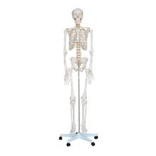 Lebensgroßes Skelett 180cm hoch