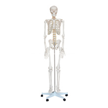 Esqueleto de tamaño natural 180cm alto