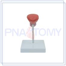 PNT-0569-1 modelo de vejiga