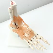 JOINT02 (12348) Medical Anatomy Life-Size Esqueleto Articular do Pé com Modelos Médicos Ligamentos