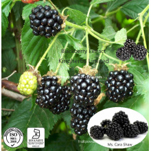Blackberry Extract Anthocyanidins