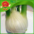Melhor funcho fresco orgânico cabeça de erva-doce