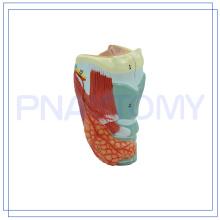 PNT-0441 modelo de laringe humana de tamaño natural