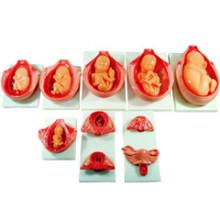 Modèle de croissance fœtale pendant la grossesse