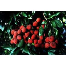 китайский свежий litchee фрукты/свежие Личи фрукты/свежие leechee фруктовых