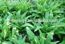 Wild Lettuce Leaf Extract Powder