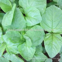 AM02 Baixiane folha redonda sementes de amaranto branco de sementes de hortaliças