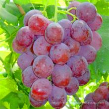 Kerne Trauben der frischen roten Kugel-Trauben