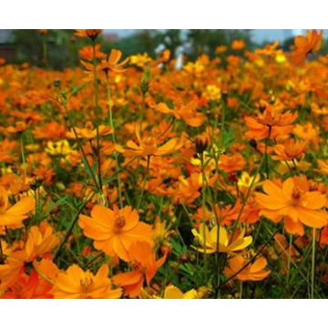 Touchhealthy Supply colorido híbrido Cosmos sulphureus semillas