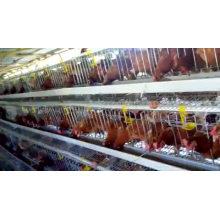 Oeuf de poulet de haute qualité Cage de volaille vendue à Kampala en Ouganda