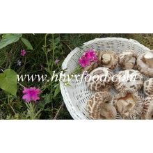 Seta de shiitake seca con palo (flor blanca)