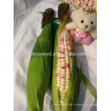 CO07 Baizi f1 hybrid purple-white mix waxy sweet corn seeds