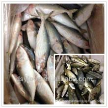 frozen mackerel/frozen horse mackerel/frozen indian mackerel