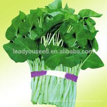 WS01 Daye graines de grandes feuilles d'épinards d'eau pour la plantation