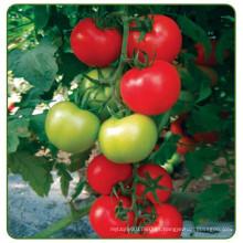 Sementes indeterminadas do tomate do rendimento elevado híbrido do RT20 Jinshun f1 para a estufa