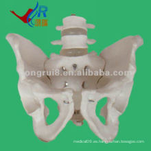 El más nuevo modelo humano de la pelvis con el modelo 2pcs de las vértebras lumbares