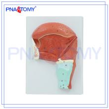 PNT-0345 Modelo educativo del músculo lingual, modelo lingualis, modelo de la musculatura lingual