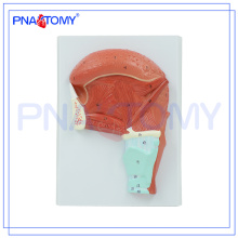 PNT-0345 Educational Lingual Muscle Model, Lingualis Model, Tongue Muscle Model