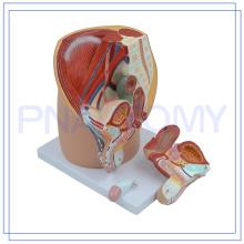 PNT-0570 modelo de pelvis masculina de tamaño natural