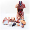 TUNK ANATOMY 12021 Plastic 23 Parts 45cm Middle Size Dual-Sex PVC Human Body Organs Anatomical Torso Model