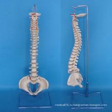 Структура структуры скелета позвоночника человека для медицинского обучения (R020707)