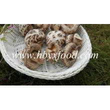 Flor branca cogumelo shiitake alimentos secos