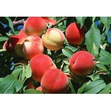 2014 fresh peach