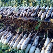 HR13 Zangai blanco resistente al calor F1 rábano semillas híbridas