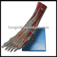 ISO Músculos del pie con los vasos y los nervios principales, modelo del pie de la anatomía (modelo de la anatomía del músculo)