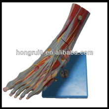 ISO Muscles of Foot with Main Vessels & Nerves,anatomy foot model(muscle anatomy model)