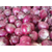 7-9cm new Fresh red onions para la venta