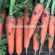 2017 новый свежий урожай моркови для горячего сбывания