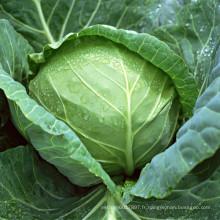 HC40 Zhong résistant au froid, rondes graines de chou hybride F1 vert foncé
